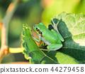 青蛙 樹蛙 日本樹蛙 44279458