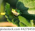 青蛙 樹蛙 日本樹蛙 44279459