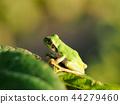 青蛙 樹蛙 日本樹蛙 44279460