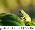 青蛙 樹蛙 日本樹蛙 44279461
