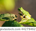 青蛙 樹蛙 日本樹蛙 44279462