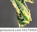 青蛙 樹蛙 日本樹蛙 44279464