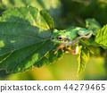 青蛙 樹蛙 日本樹蛙 44279465