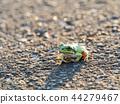 青蛙 樹蛙 日本樹蛙 44279467