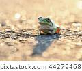 青蛙 樹蛙 日本樹蛙 44279468