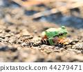 青蛙 樹蛙 日本樹蛙 44279471