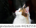 Portrait half-face of a Beautiful Calico Cat  44282558