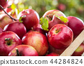 Fresh red apples in wooden crate on garden table. 44284824
