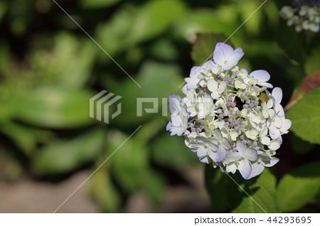 富士瀑布/繡球花蕾 44293695