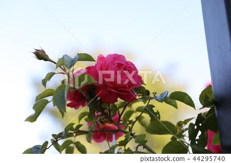 紅玫瑰 44295740