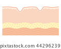 人體皮膚 皮膚 皺褶 44296239