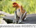 Proboscis Monkey or long-nosed monkey 44300572