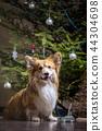 corgi fluffy dog 44304698