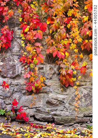 colorful ivy plant on stone wall 44305782