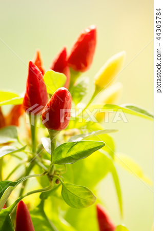 chili peppers closeup. small spicy plant 44305784