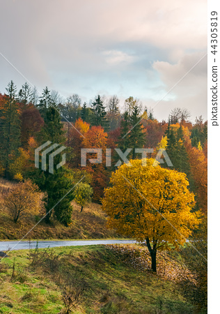 tree with golden foliage by the road 44305819