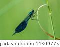 Banded demoiselle (Calopteryx splendens) 44309775