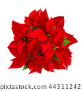 Red poinsettia Christmas flower isolated white  44311242
