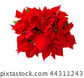 Christmas flower red poinsettia isolated white 44311243