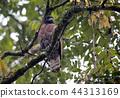 野生鳥類 野鳥 猛禽 44313169