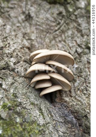 참나무에서 자라는 자연산 느타리버섯 44316956