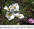 คอสมอส,ดอกไม้,ฤดูใบไม้ร่วง 44318403