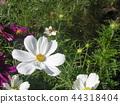 大波斯菊 花朵 花 44318404
