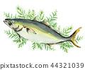 日本琥珀鱼 丝柏 鱼 44321039