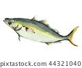 日本琥珀鱼 水彩 水彩画 44321040