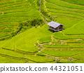 Terraced rice field, Mu Cang Chai, Vietnam 44321051