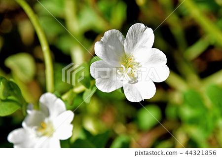 뽀츄라카 (꽃 미끄럼 비유) 44321856