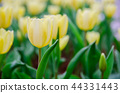 close up of pale yellow tulips 44331443