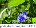 빛나는 블루 나팔꽃 44334910