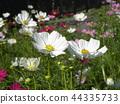 大波斯菊 花朵 花 44335733