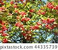 火棘 水果 紅 44335739