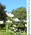 大波斯菊 花朵 花 44337321