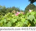 木芙蓉 芙蓉 花朵 44337322