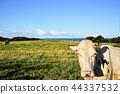 소, 우, 목장 44337532