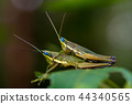 Closeup of Green grasshopper on a leaf. 44340565