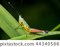 Closeup of Green grasshopper on a leaf. 44340566