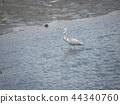 蒼鷺 野生鳥類 野鳥 44340760