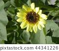 向日葵 太陽花 花朵 44341226