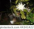 Geckavidin花在夜晚枯萎,白色的大花在夜晚 44341422