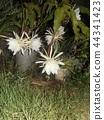 밤 큰 하얀 꽃을 피우고 밤 안에 주름 월하 미인 꽃 44341423