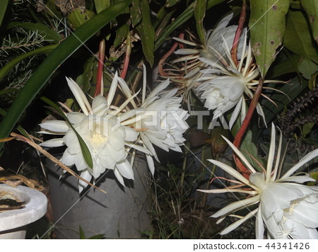 Geckavidin花在夜晚枯萎,白色的大花在夜晚 44341426