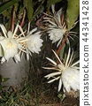 Geckavidin flowers wither in the night with big white flowers in the night 44341428