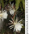Geckavidin flowers wither in the night with big white flowers in the night 44341429