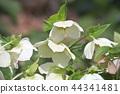 聖誕玫瑰 花朵 花 44341481