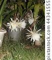밤 큰 하얀 꽃을 피우고 밤 안에 주름 월하 미인 꽃 44341555