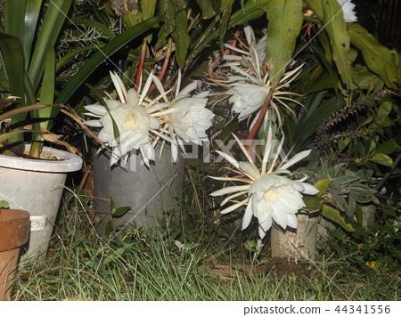 밤 큰 하얀 꽃을 피우고 밤 안에 주름 월하 미인 꽃 44341556